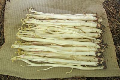 2月21日 三島ウドの収穫始まる