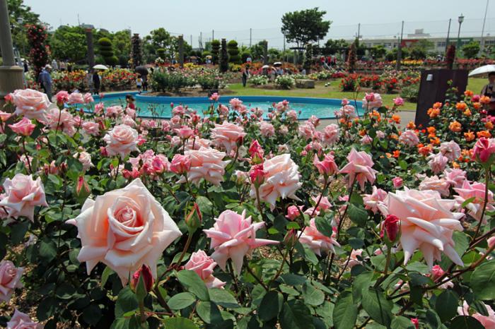 5月16日 若園公園バラ園開花状況